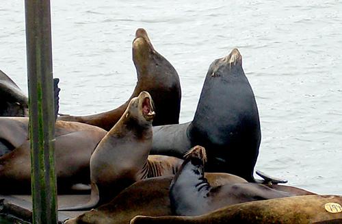 Seals at the pier in Astoria, Oregon