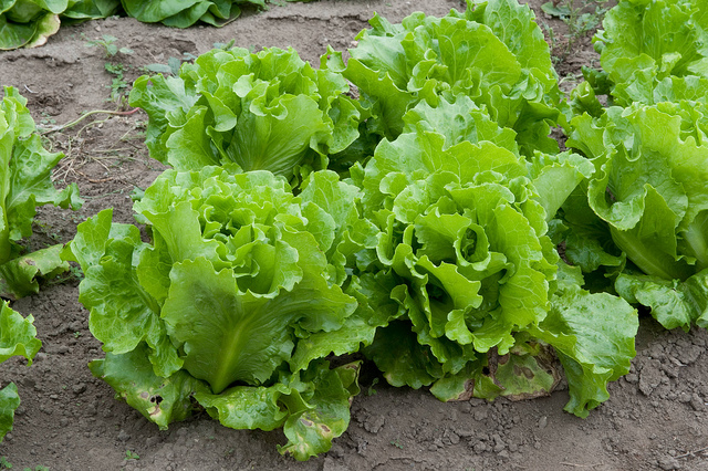Lettuce Patch